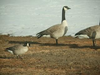 Cackling Goose (Richardson's), ML26318581