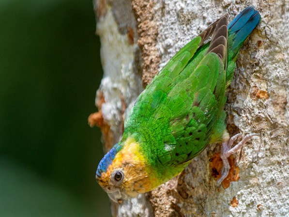 Buff-faced Pygmy-Parrot - Michael Galtry