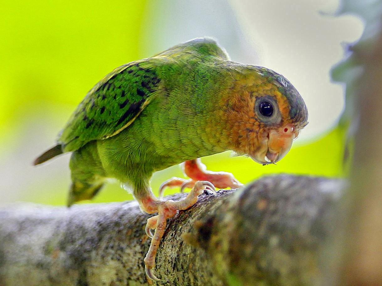 Buff-faced Pygmy-Parrot - Carmelo López Abad
