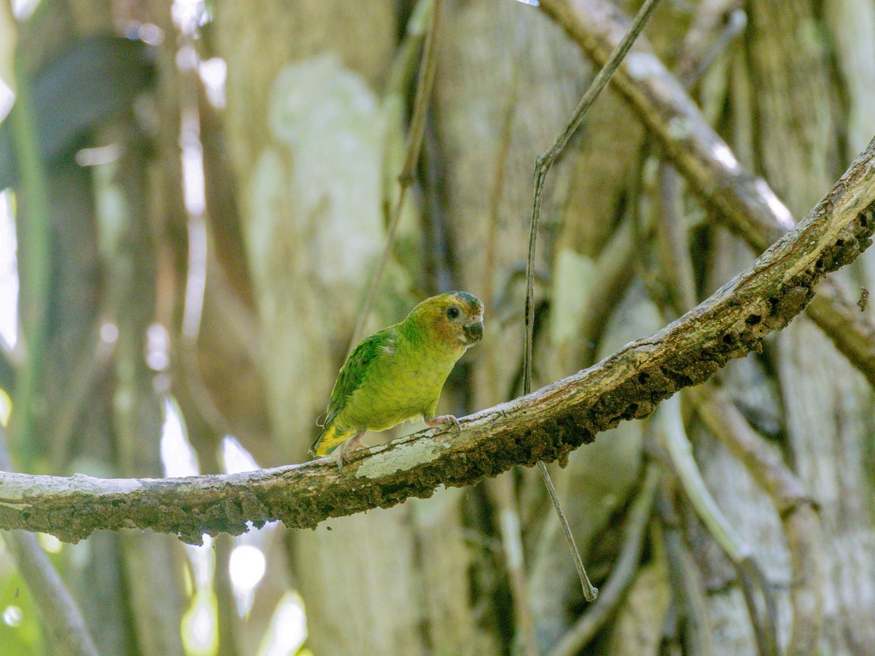 Buff-faced Pygmy-Parrot - Nayana Amin