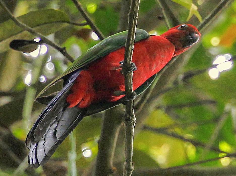 Papuan King-Parrot - Carmelo López Abad