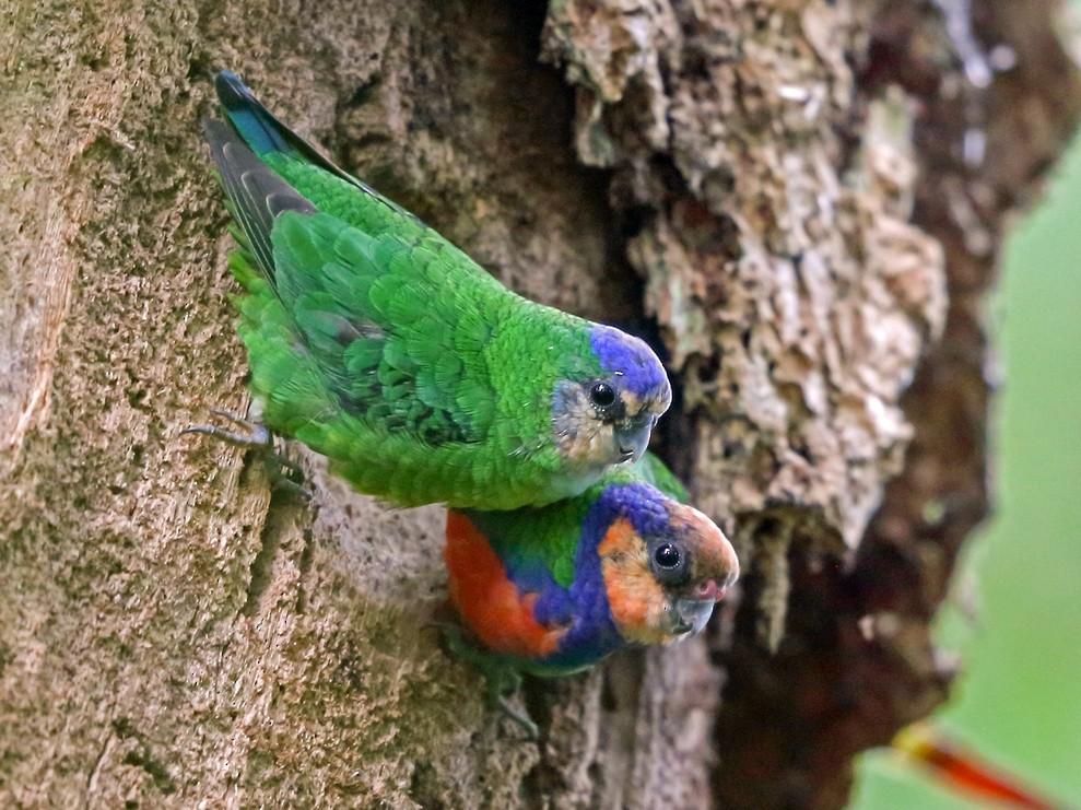 Red-breasted Pygmy-Parrot - Nigel Voaden