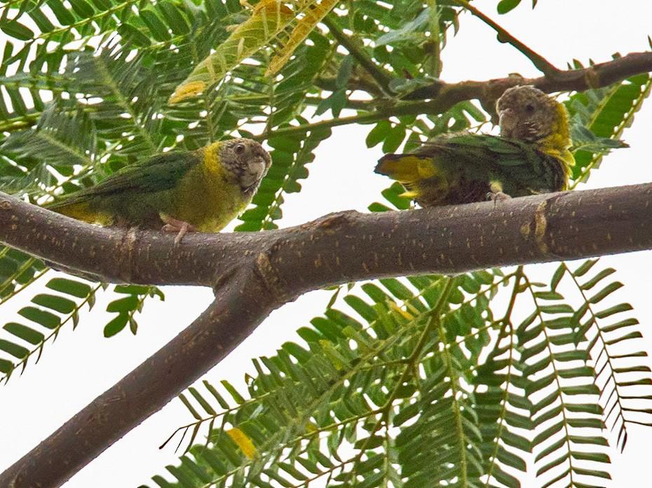 Meek's Pygmy-Parrot - Lars Petersson