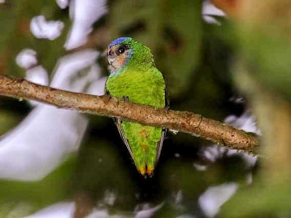 Red-breasted Pygmy-Parrot - Mehd Halaouate