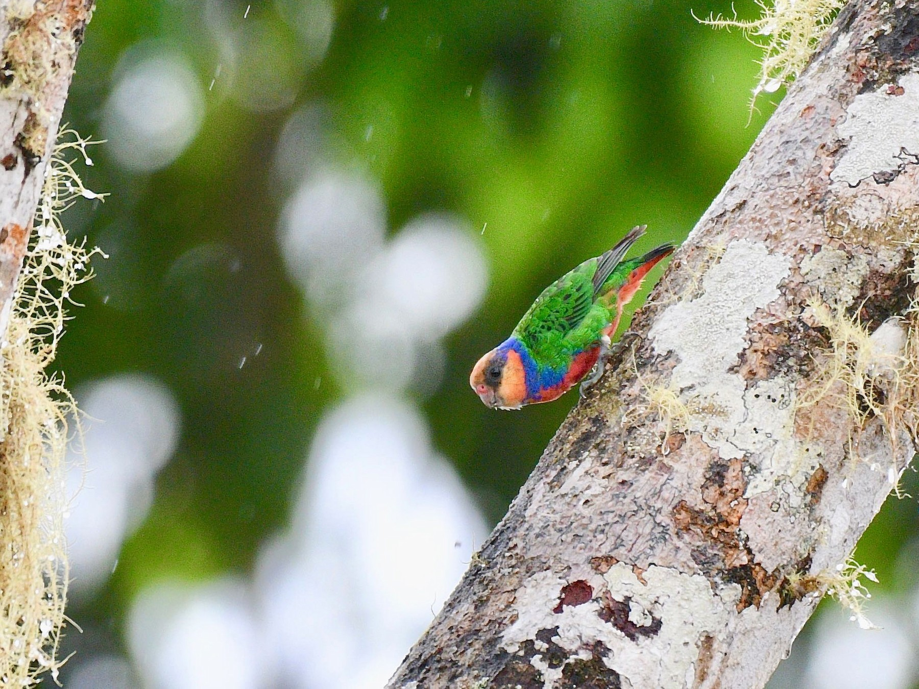 Red-breasted Pygmy-Parrot - Jacques Erard