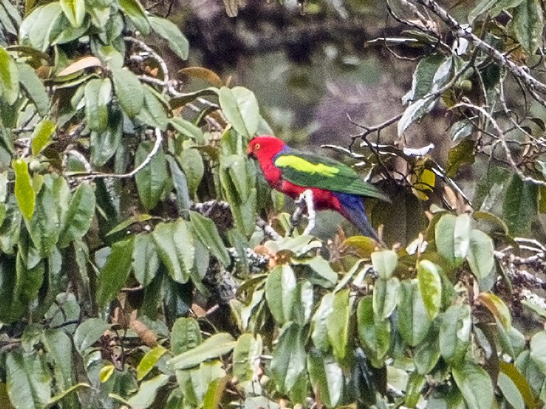Papuan King-Parrot - Bradley Hacker