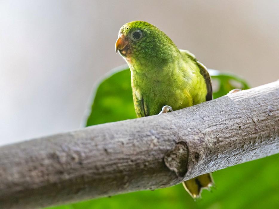 Finsch's Pygmy-Parrot - Lars Petersson