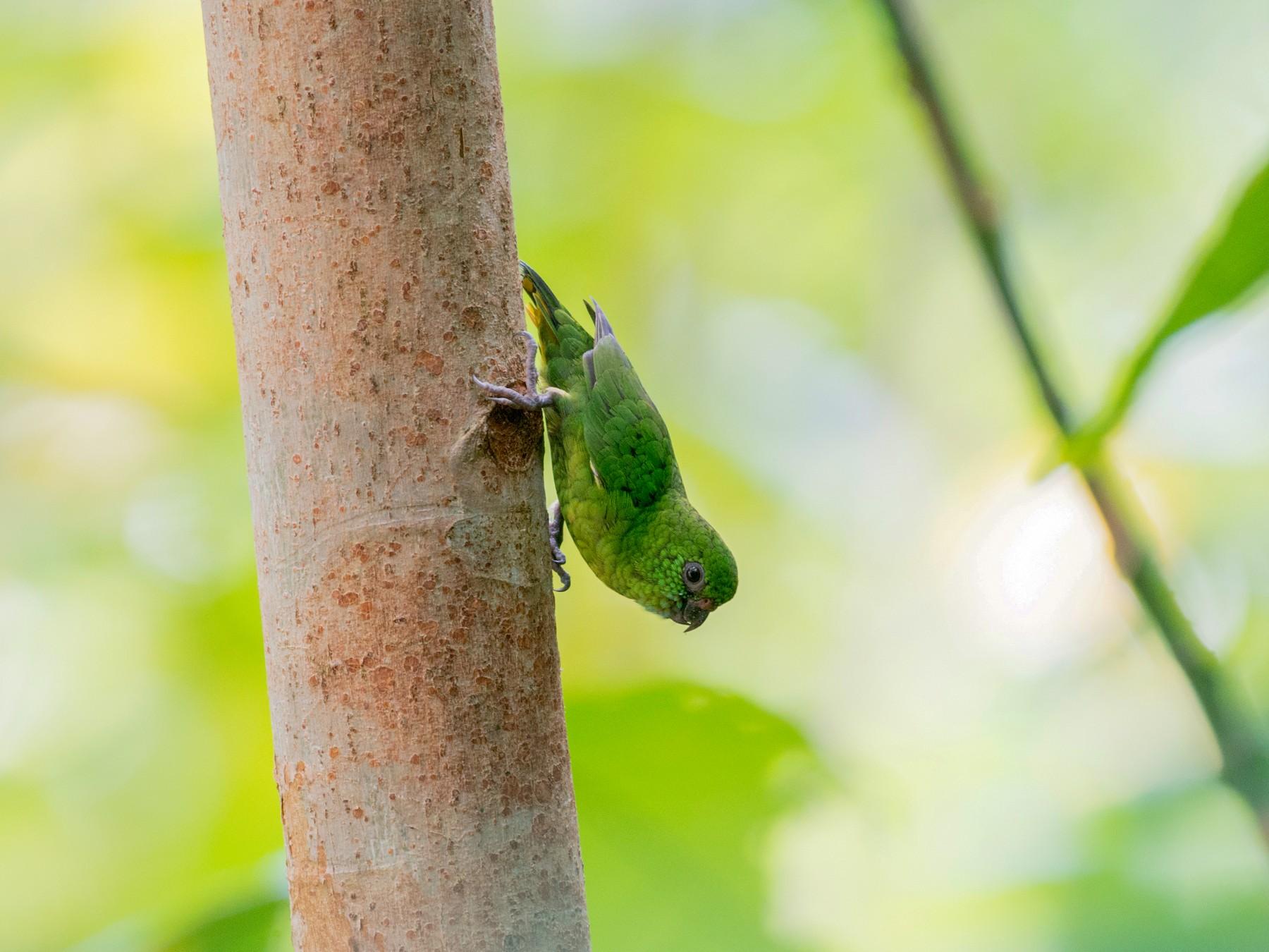 Finsch's Pygmy-Parrot - John C. Mittermeier