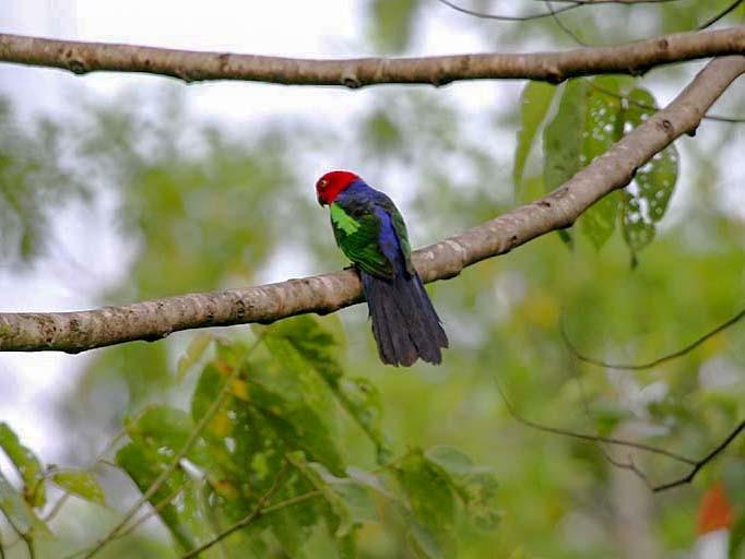 Papuan King-Parrot - Mehd Halaouate