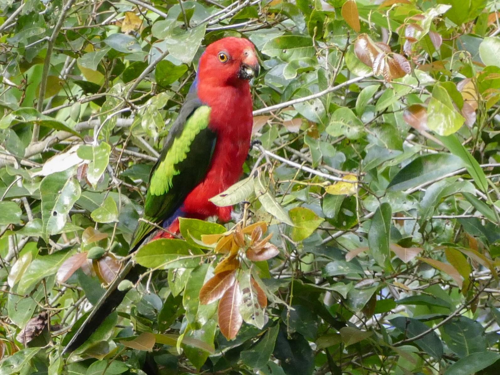 Papuan King-Parrot - Chris Barnes