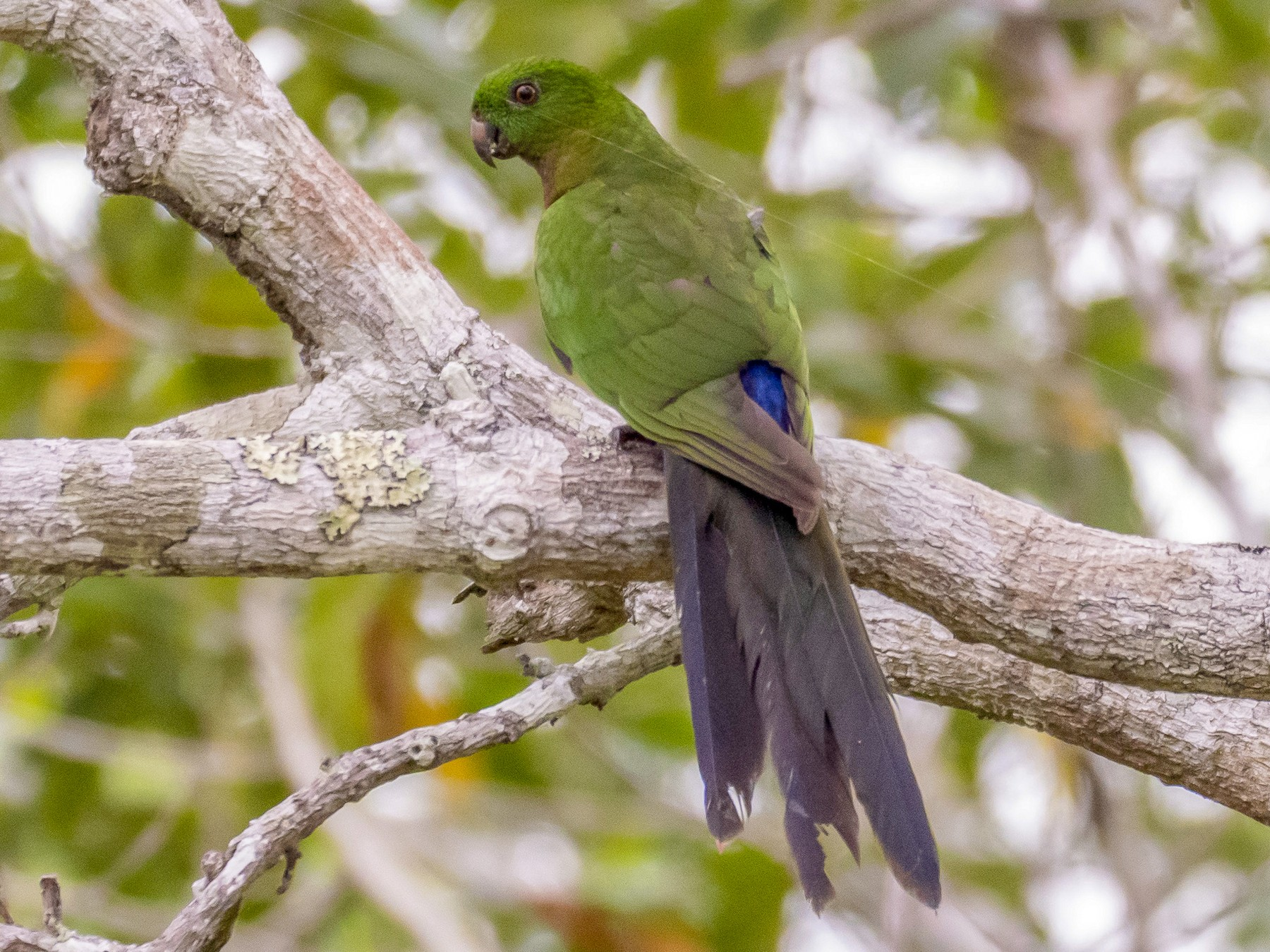 Papuan King-Parrot - David Howe & Rosanne Dawson