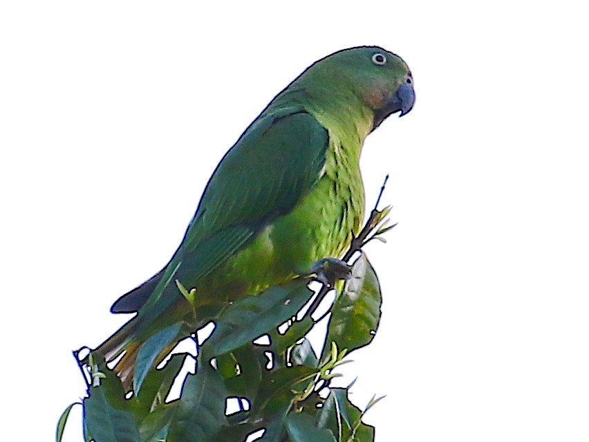 Blue-collared Parrot - Arco Huang