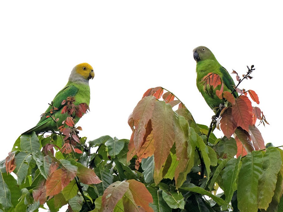 Singing Parrot - Lars Petersson