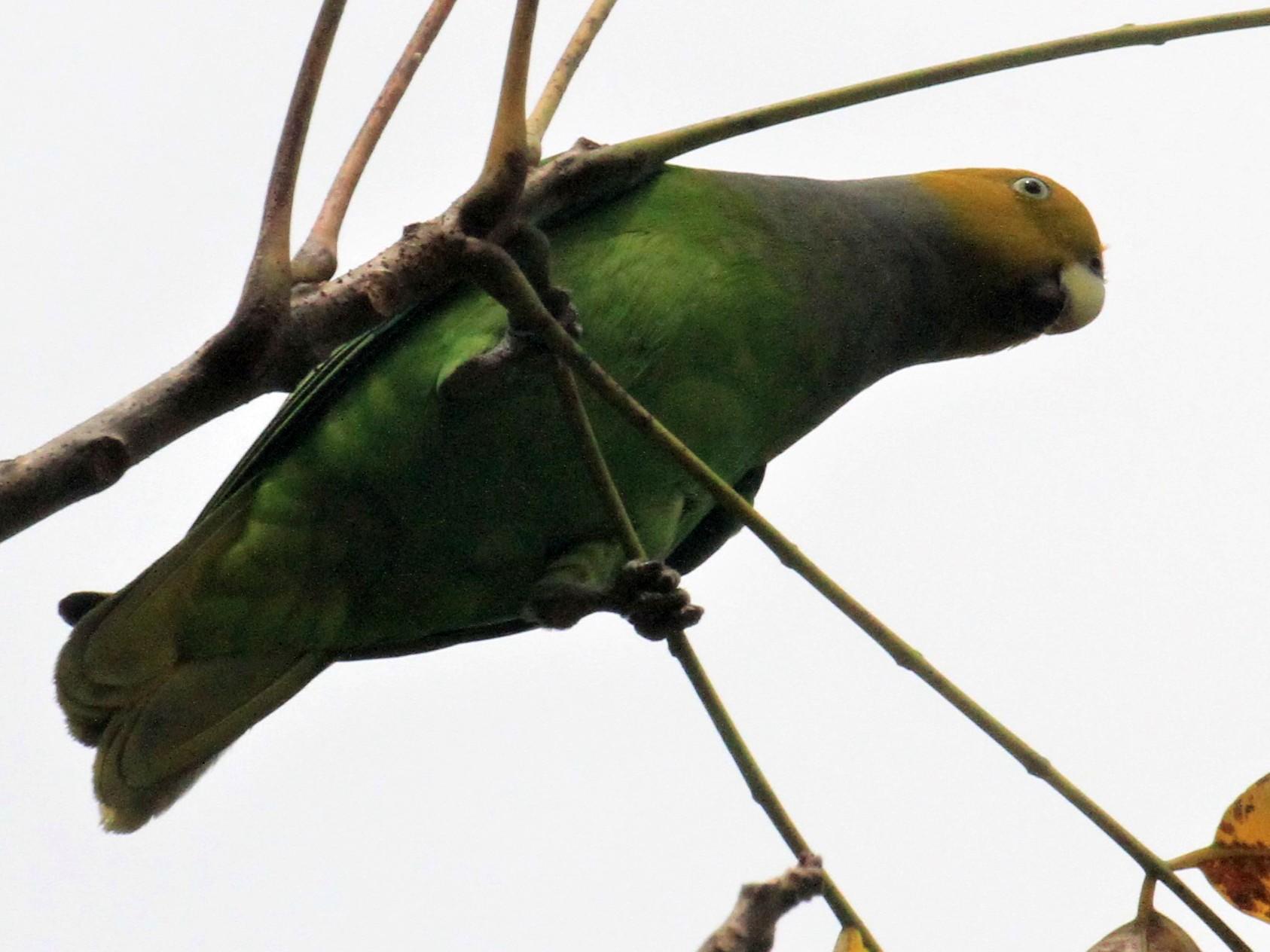 Singing Parrot - Charles Davies