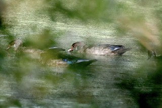 Wood Duck, ML263249651