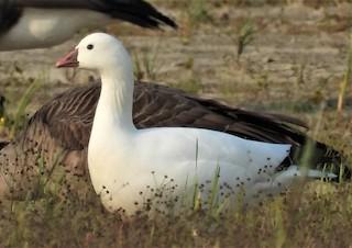 Ross's Goose, ML263265781