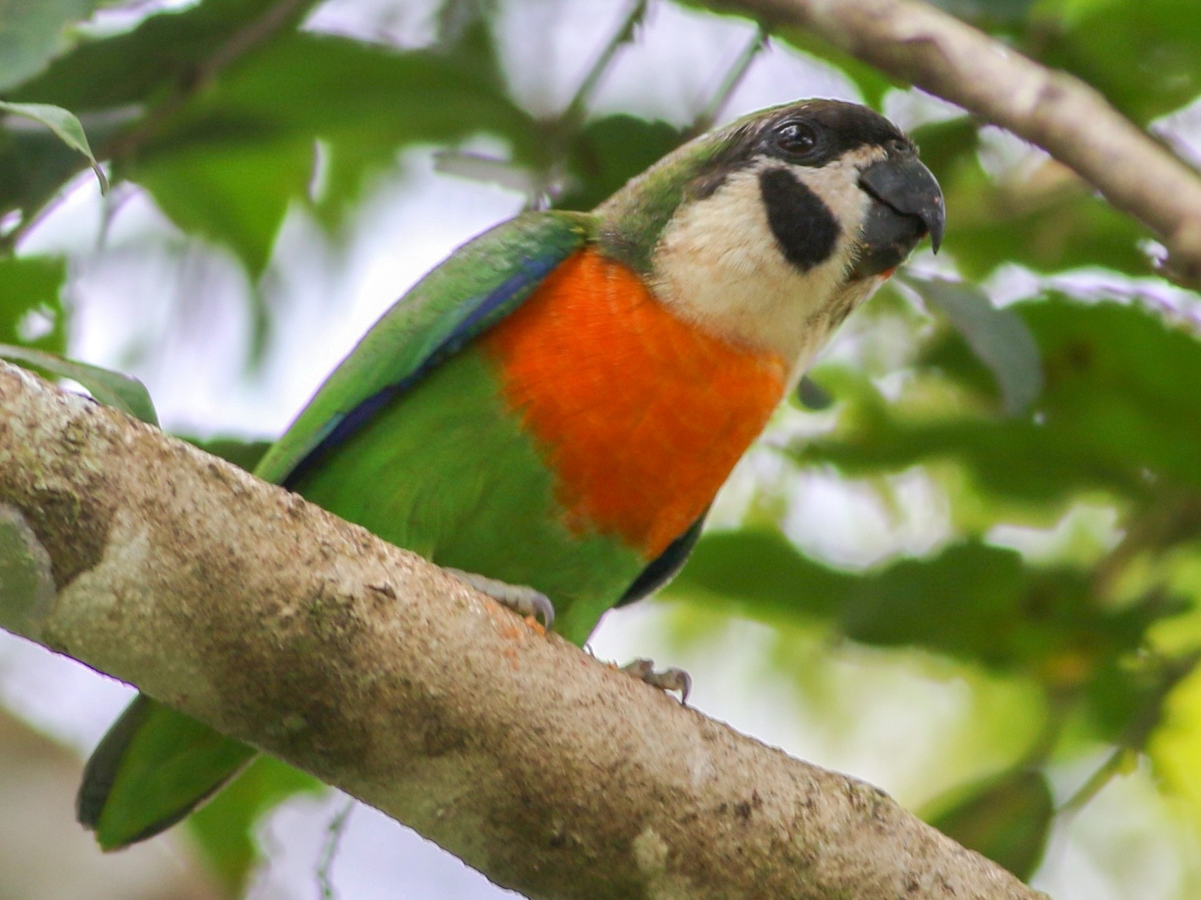 Orange-breasted Fig-Parrot - Chris Wiley