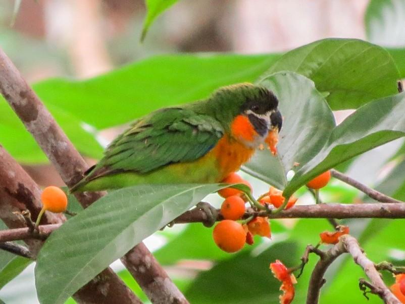 Orange-breasted Fig-Parrot - Phil Gregory