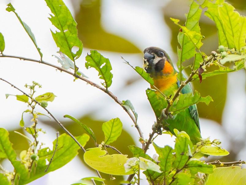 Orange-breasted Fig-Parrot - Frédéric PELSY