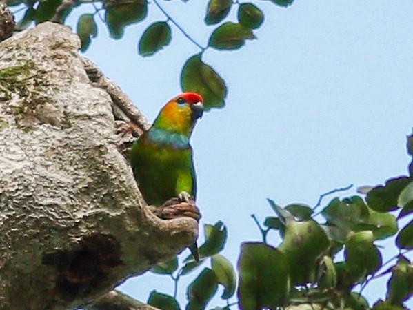Large Fig-Parrot - Wilbur Goh Soon Kit