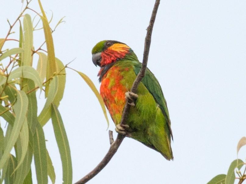 Edwards's Fig-Parrot - John C. Mittermeier