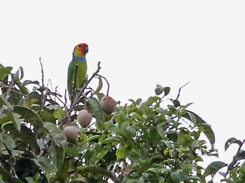 Large Fig-Parrot - Myles McNally