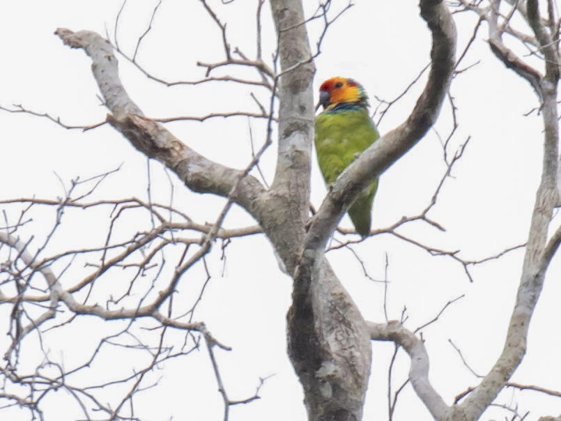 Large Fig-Parrot - daniel lopez velasco
