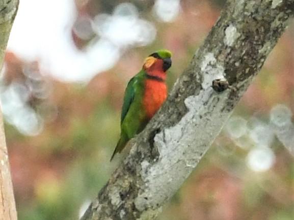 Edwards's Fig-Parrot - Neil Wingert