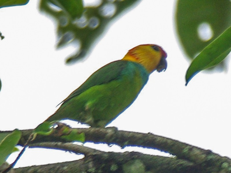 Large Fig-Parrot - Jonathan Pap