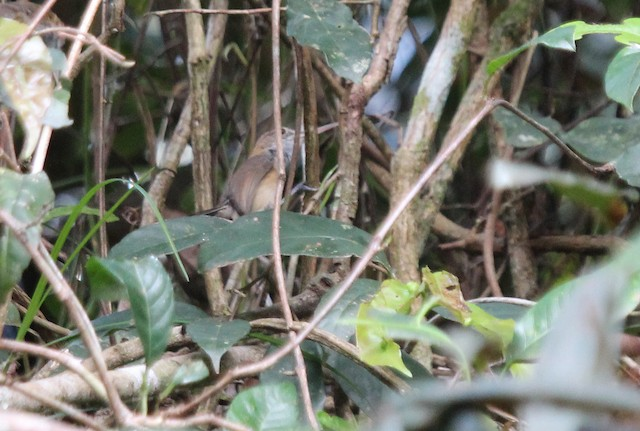 Long-billed Gnatwren (presumed subspecies <em>austerus</em>).