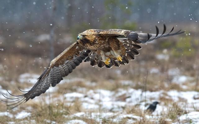 Golden Eagle (Sweden).