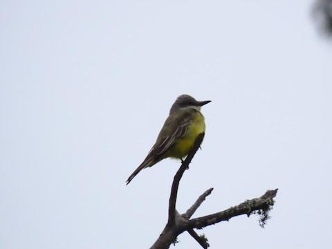 Tropical Kingbird - Liam Hampl