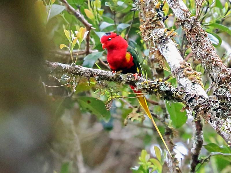 Papuan Lorikeet - Nigel Voaden
