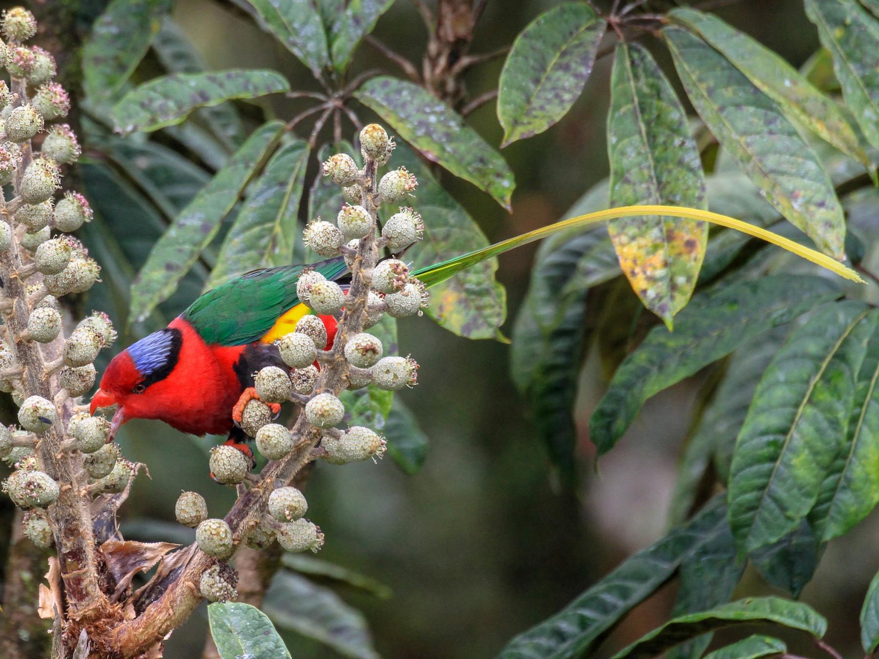 Papuan Lorikeet - Charles Davies