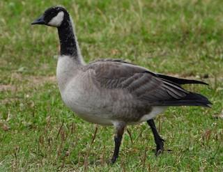 Cackling Goose (Taverner's), ML263637491