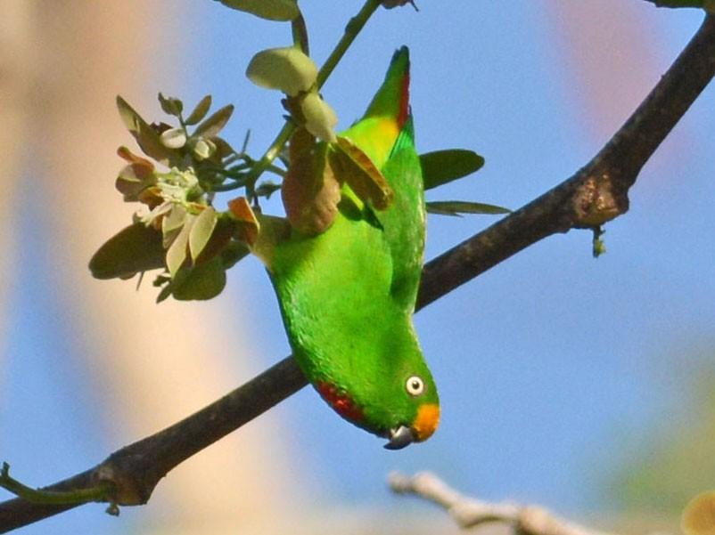 Papuan Hanging-Parrot - Mark Van Beirs
