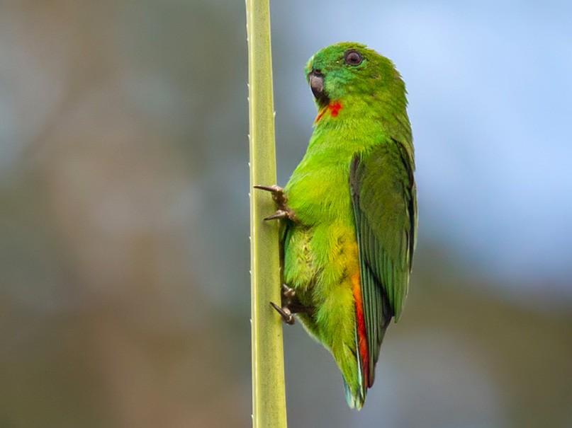 Papuan Hanging-Parrot - Lars Petersson