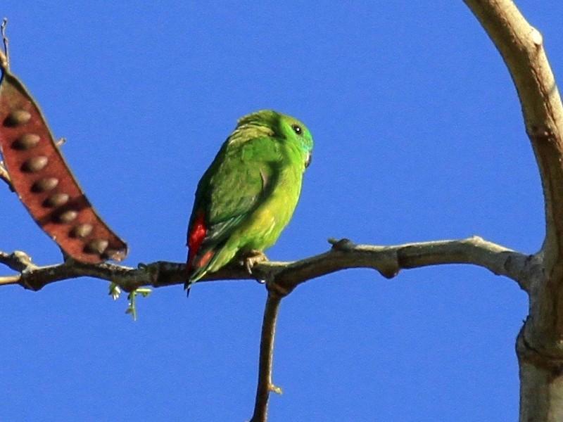 Papuan Hanging-Parrot - Charles Davies