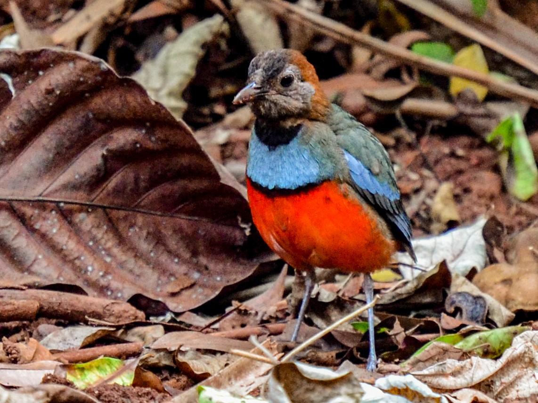 Papuan Pitta - Bruce Wedderburn