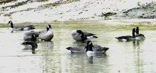 Canada Goose, ML263786601