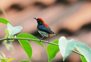 - Scarlet-backed Flowerpecker