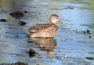 Blue-winged Teal, ML263982011