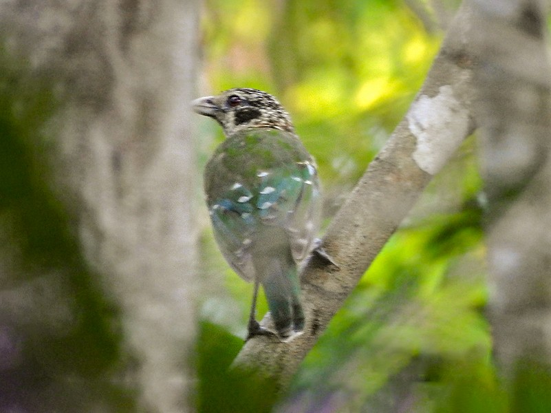 Black-eared Catbird - Marie Tarrant