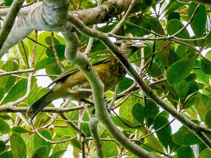 Black-eared Catbird - Luke Shelley