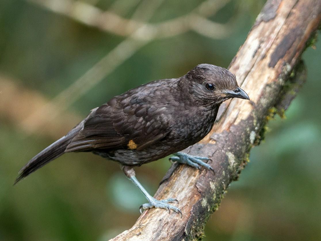 Archbold's Bowerbird - Thierry NOGARO