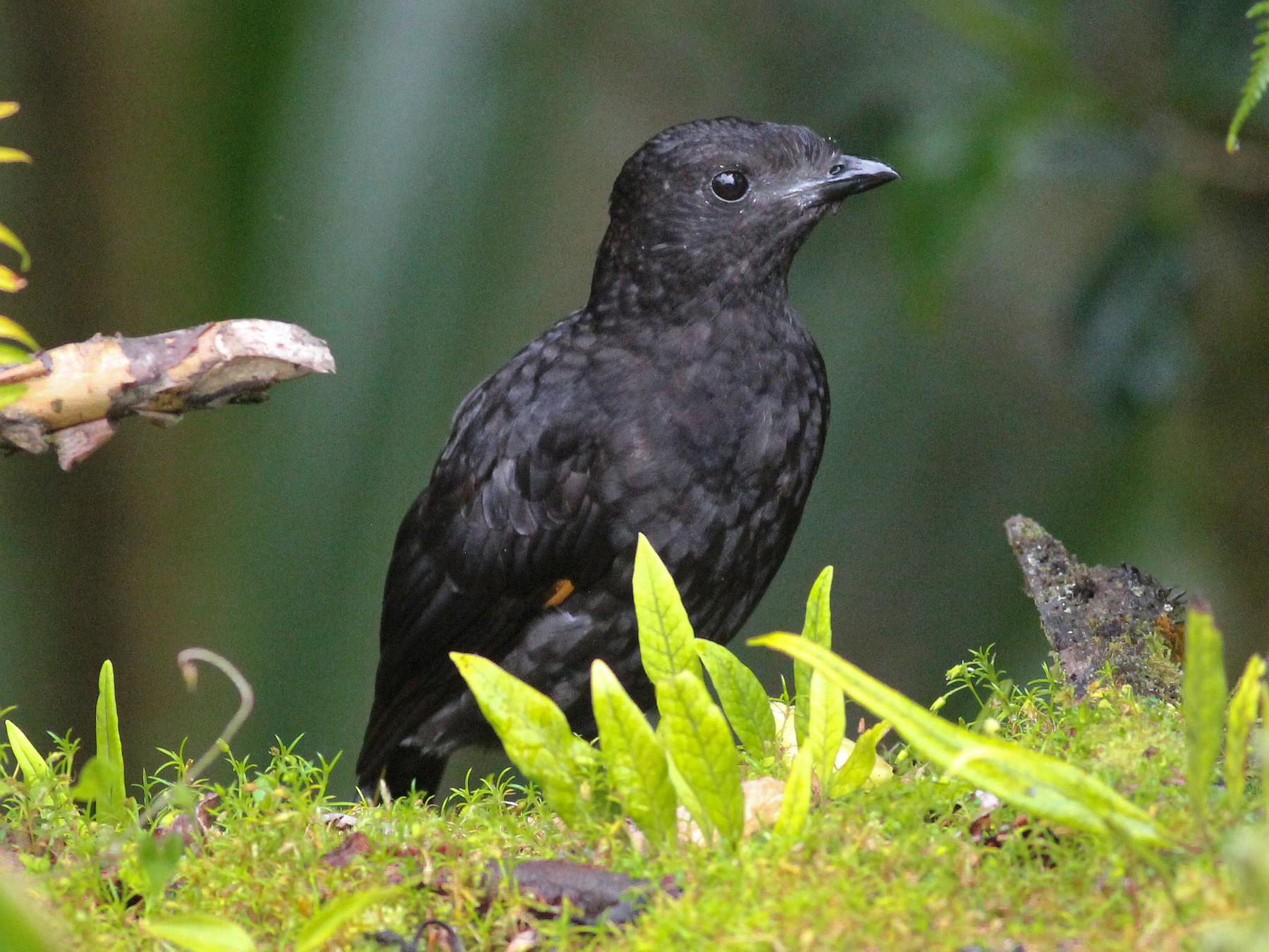Archbold's Bowerbird - Ashley Banwell