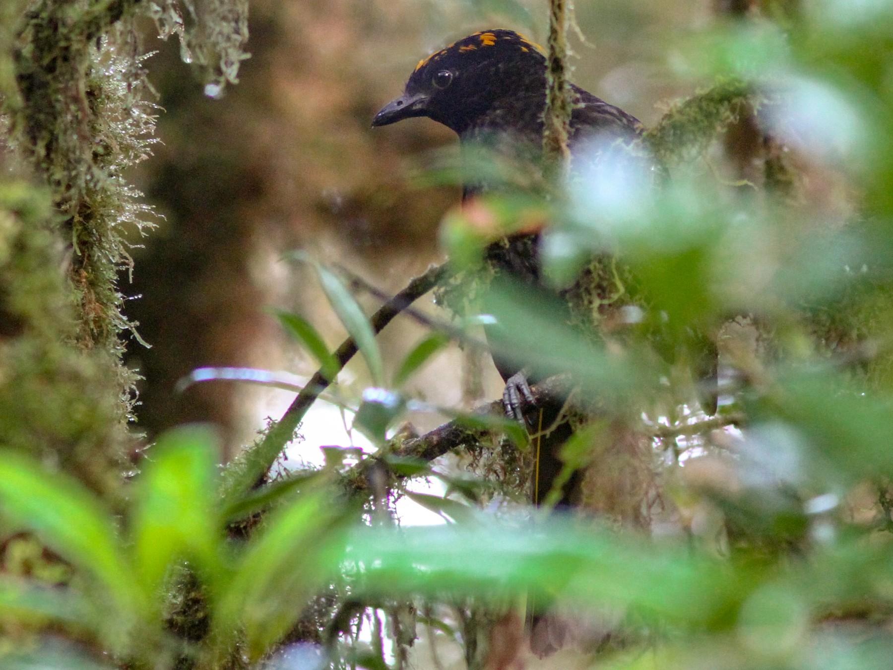 Archbold's Bowerbird - Stephan Lorenz