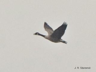 Canada Goose, ML264245541