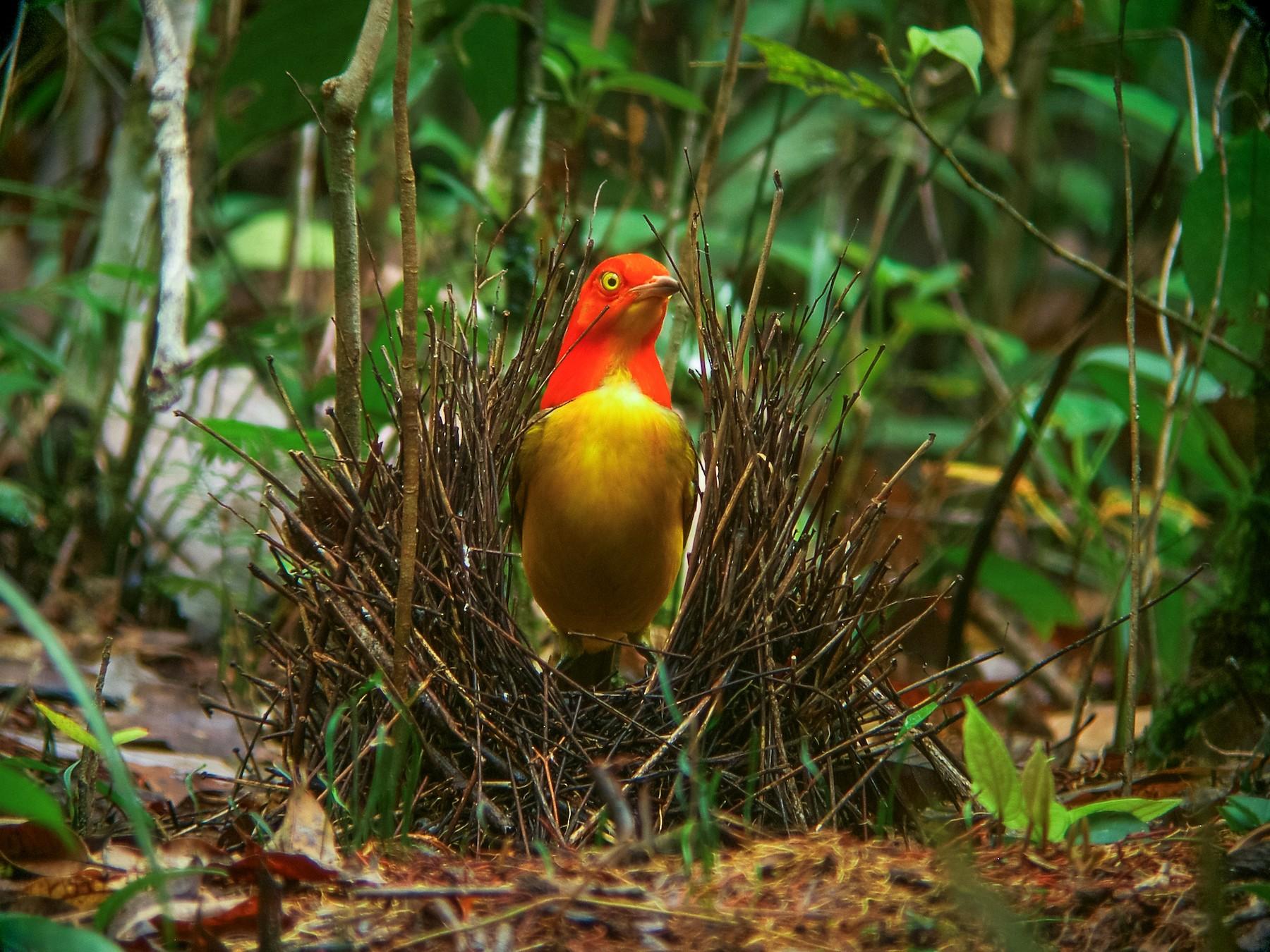 Flame Bowerbird - Nick Athanas