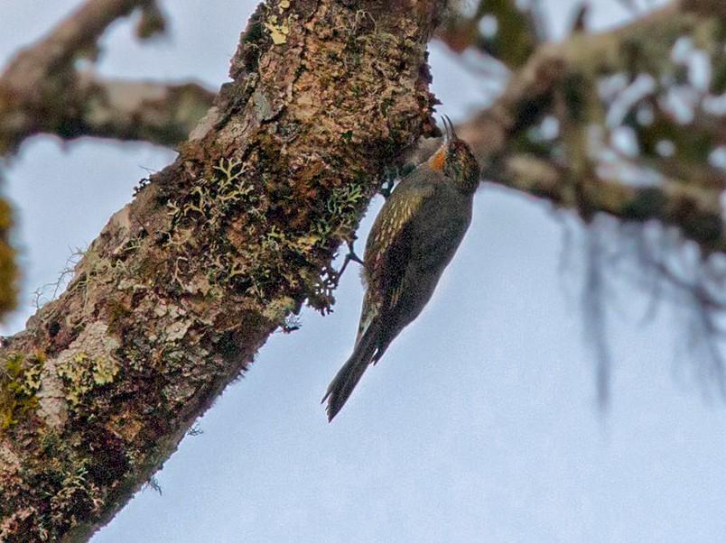 Papuan Treecreeper - Lars Petersson
